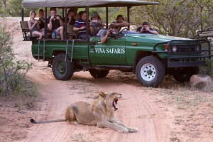 Lion on Kruger Park safari
